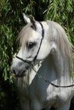 Amazing white shagya arab in nature Stock Photo