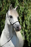 Amazing white shagya arab in nature Royalty Free Stock Images