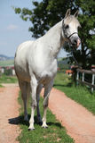 Amazing white shagya arab standing on the path