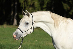 Amazing white stallion of arabian horse Stock Photography