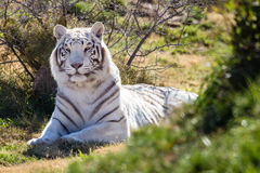Amazing white tiger in the brush stock photography