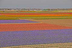 Amazing Wide Fields of Tulips beyond a Town Stock Photo