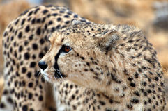 Amazing wild African Cheetah in the savannah of Namibia Royalty Free Stock Photography