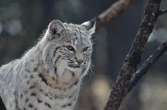 Amazing Wild Bobcat. Truly terrific capture of a bobcat in the wild Stock Photography