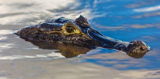 Amazing Wild Crocodile in Pantanal River - Pantanal is one of the world's largest tropical wetland areas located in Brazil , Latin Royalty Free Stock Photography