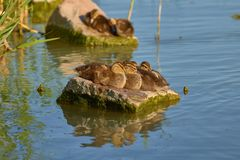 Amazing Wild Duck Chicks On A Rock In A Lake Balaton In Hungary Royalty Free Stock Photos