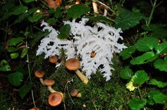 Amazing wild mushroom, similar to coral. Several edible mushrooms (Armillaria) Stock Photos