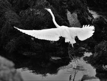 Amazing Wing Span Royalty Free Stock Photos
