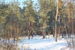 Amazing winter landscape with snow and blue sky. Beautiful pine forest in winter royalty free stock photo