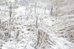 Frosty grass and plants. White winter. Amazing winter natural background. Frosty grass and plants. White winter. Sweden Stock Image