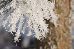 Winter time and frozen pine needles with rime and frost crystals in sunlight stock image