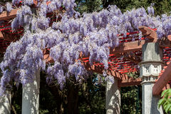 Amazing wisteria blossom Stock Photography