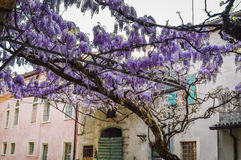 Amazing wisteria pergola in the streets of the old walled town of Soave Stock Photography