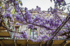 Amazing wisteria pergola in the streets of the old walled town of Soave Royalty Free Stock Photography