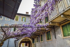 Amazing wisteria pergola in the streets of the old walled town of Soave Stock Image