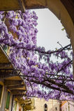 Amazing wisteria pergola in the streets of the old walled town of Soave Royalty Free Stock Image