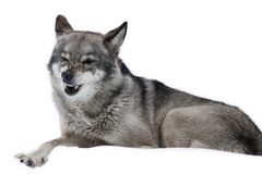 Amazing Wolf blinked isolated. Funny Amazing Wolf blinked isolated on white stock images