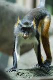 Amazing Wolf`s Guenon Monkey Face Up Close Royalty Free Stock Photos