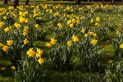 Amazing Yellow Daffodils flower field in the morning sunlight stock photo