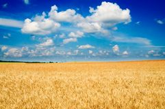 Amazing yellow field of wheat. Royalty Free Stock Photos