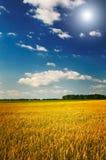 Amazing yellow field of wheat. Stock Photo