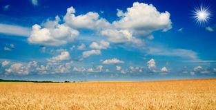 Amazing yellow field of wheat. Royalty Free Stock Photo