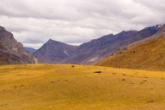 Amazing yellow meadow high in the mountains. royalty free stock image