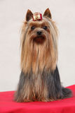 Amazing Yorkshire terrier in front of white wall Royalty Free Stock Images