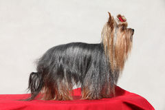 Amazing Yorkshire terrier in front of white wall Stock Photography