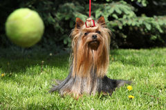 Amazing Yorkshire terrier in the garden Stock Photography