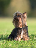 An amazing Yorkshire Terrier poses. In a park Royalty Free Stock Image