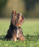 An amazing Yorkshire Terrier poses. In a park Royalty Free Stock Images