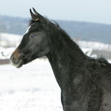 Amazing young black arabian horse in winter. Amazing young black arabian horse foal in winter Stock Images