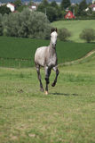 Amazing young horse running on pasturage Royalty Free Stock Images