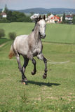 Amazing young horse running on pasturage Stock Photography
