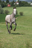 Amazing young horse running on pasturage Stock Images