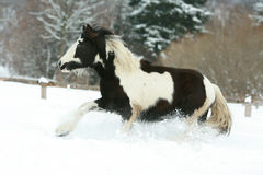 Amazing young irish cob running in winte Royalty Free Stock Photo