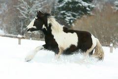 Amazing young irish cob running in winte Royalty Free Stock Photo