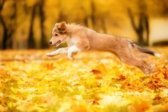 Young red border collie dog running with leaves in autumn royalty free stock images
