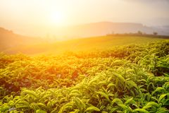 Amazing green tea leaves at tea plantation at sunset. Amazing young upper fresh bright green tea leaves at tea plantation at sunset. Scenic tea bushes are stock photos