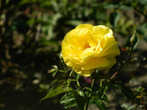 Amazing hemerocallis, yellow flower, yellow rose. Beautiful yellow rose of the domain eukaryote, kingdom plantae Stock Photos