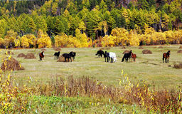 Amazingly beautiful photo of horses near forest Royalty Free Stock Photo