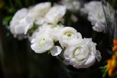 Amazingly beautiful white ranunculus on a blurred background Royalty Free Stock Photo