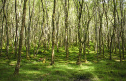 Amazingly green birch forest with lots of trees Royalty Free Stock Photo