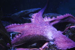 Amazingly Large Pink Octopus from the Carribean. Amazingly Huge Pink Octopus from the Carribean Stock Images