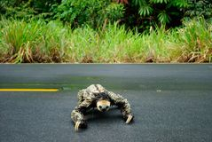 Amazon animal - sloth. Sloth crossing the road. Itapiranga city,  Amazon Estate, Brazil Royalty Free Stock Images