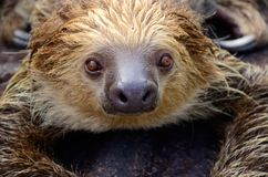 Amazon animal. Sloth animal at amazon road Stock Photos