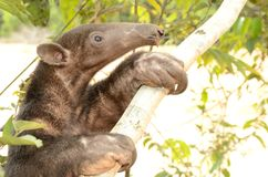 Amazon animal. Tamandua mirim. Para Estate, Brazil Royalty Free Stock Photo
