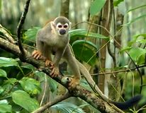 Amazon Basin Inhabitor Royalty Free Stock Photography