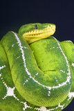 Amazon basin tree boa / Corallus batesi Stock Images
